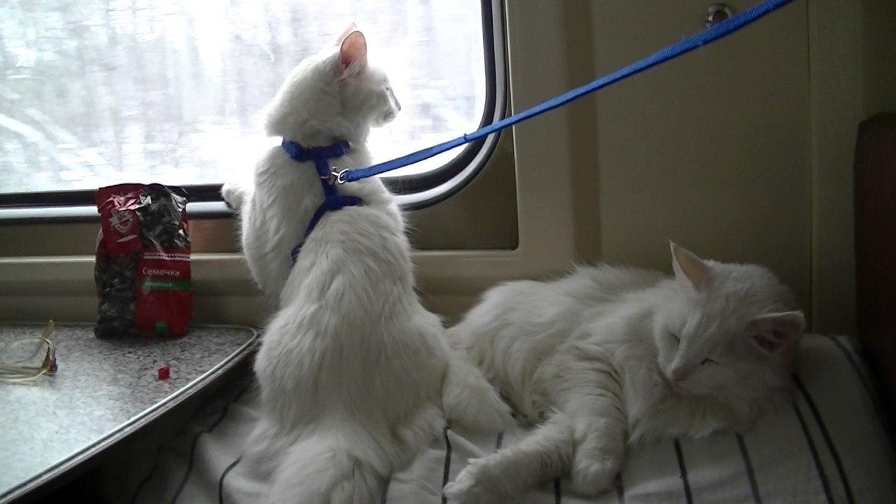 Две кошки впоезде