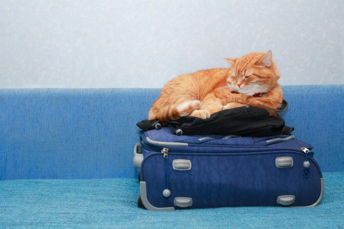 Можно ли перевозить кошку в поезде?