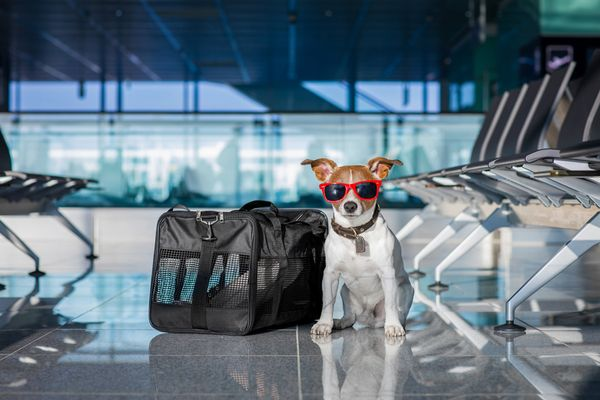 Правила перевозки собак в поезде и самолете перечень документов и необходимых прививок