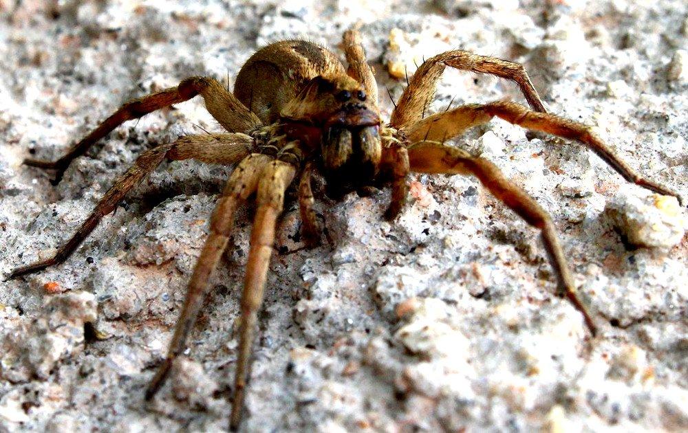 Картинки смертельные пауки